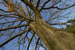 Большое старое дерево в осени на славный солнечный день Стоковые Изображения