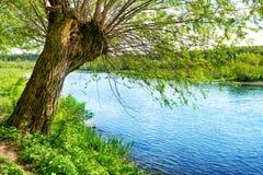 Большое старое дерево на речном береге Стоковые Фото