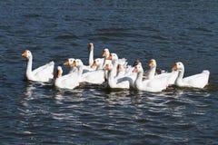 Большое стадо белых гусынь плавая Стоковое Изображение RF