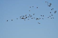 Большое стадо больших, который Бело-противостоят гусынь летая в голубое небо Стоковое Фото
