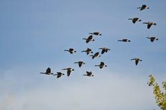Большое стадо гусынь Канады летая в голубое небо Стоковые Изображения RF