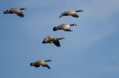 Большое стадо гусынь Канады летая в голубое небо Стоковые Изображения