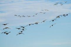 Большое стадо гусынь Канады приходя внутри для посадки Стоковое Изображение RF