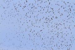 Большое стадо птиц с открытыми крылами Стоковые Изображения