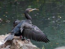 Большое черное cormoran стоковое фото