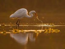 Большое albus Casmerodius Egret Стоковое Фото
