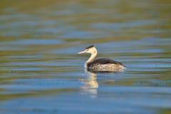 Большое crested заплывание поганковых на озере Стоковая Фотография