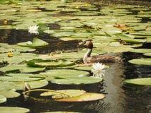 Большое crested cristatus поганки поганковых плавая на озеро воды Стоковая Фотография RF