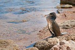 Большое gannet на Чёрном море Стоковые Фотографии RF