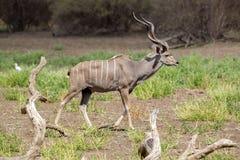 Большое Kudu, запас игры Selous, Танзания Стоковая Фотография RF