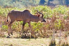 Большое Kudu обнюхивает вперед Стоковые Фотографии RF
