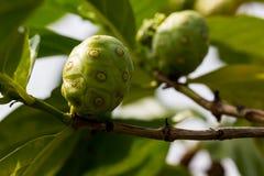 Большое Morinda на дереве Стоковое фото RF