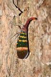 Большое planthopper на дереве (karenia Pyrops) Стоковое Изображение