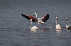 Большое ` s фламинго стоковые фотографии rf