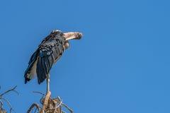 Большой аист Marabou wading птицы Стоковые Фото