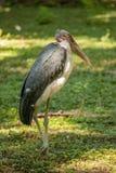 Большой аист Marabou wading птицы Стоковые Изображения RF