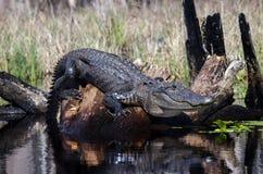 Большой американский аллигатор, охраняемая природная территория соотечественника болота Okefenokee Стоковые Изображения RF