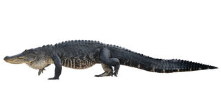 Большой американский аллигатор Стоковые Фотографии RF