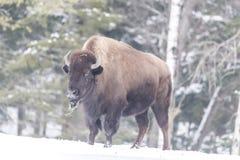 Большой американский буйвол поля в зиме Стоковое Фото