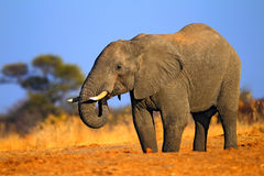 Большой африканский слон, на дороге гравия, с голубым небом и зеленым деревом, животное в среду обитания природы, Танзания Стоковое фото RF