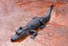 Большой аллигатор Стоковые Фотографии RF