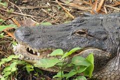 Большой аллигатор Стоковое Изображение