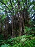 Большой баньян с много воздушных корней в Гаваи Стоковые Изображения
