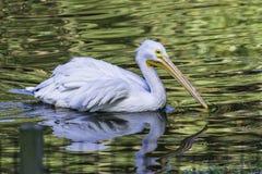Большой белый американский пеликан Стоковые Фотографии RF