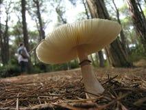 Большой белый гриб Стоковые Изображения RF
