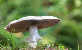 Большой белый гриб Стоковое Изображение RF