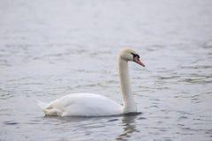 Большой белый лебедь на воде стоковое изображение