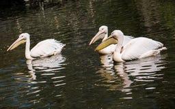 Большой белый пеликан (onocrotalus Pelecanus) на озере Стоковые Изображения RF