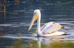 Большой белый пеликан (Pelecanus Onocrotalus) Стоковое Изображение