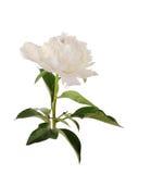 Большой белый пион на белой предпосылке Стоковая Фотография