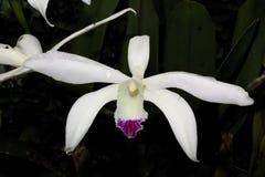 Большой белый цветок орхидеи стоковая фотография