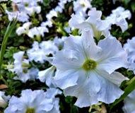 Большой белый цветок Стоковые Изображения RF