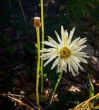 Большой белый цветок Стоковые Фотографии RF