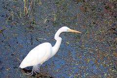 Большой белый Egret в болоте Стоковая Фотография RF