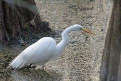 Большой белый Egret в болоте Стоковая Фотография