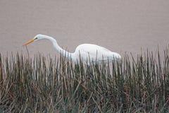 Большой белый Egret в болоте Стоковые Изображения RF