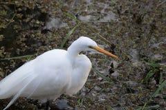 Большой белый Egret в болоте Стоковое Фото