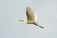 Большой белый Egret в полете Стоковые Изображения RF