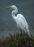Большой белый egret на пляже Стоковое Изображение