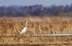 Большой белый Egret Стоковое Изображение RF