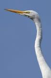 Большой белый Egret Стоковое Изображение