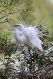 Большой белый Egret II Стоковая Фотография