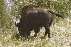 Большой бизон быка пася Стоковые Изображения