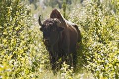 Большой бизон в кусте Стоковые Фотографии RF
