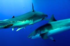 Большой бой белых акул Стоковые Фото