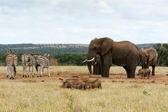 Большой босс африканский слон Буша Стоковая Фотография